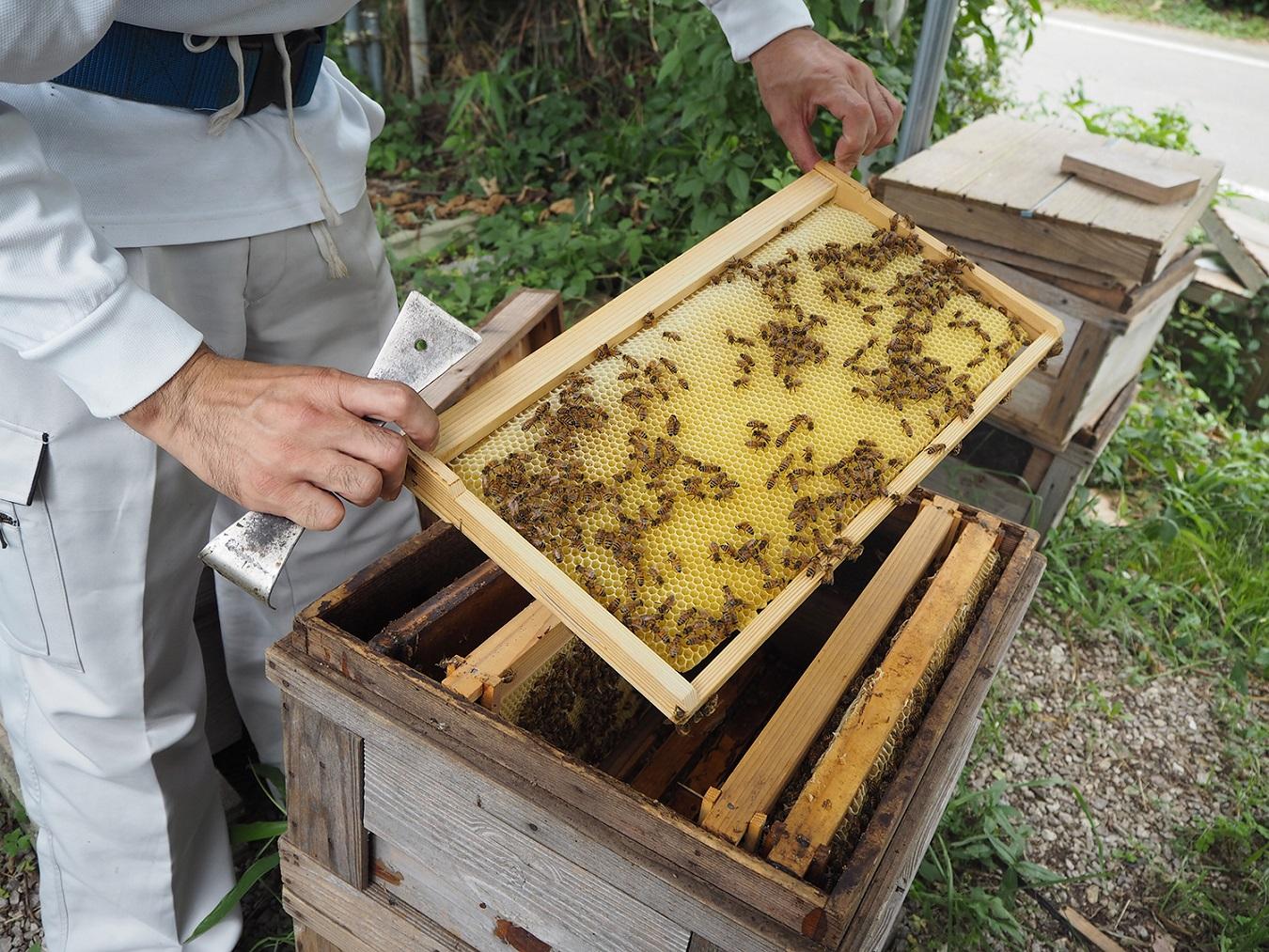 ハチミツの採集