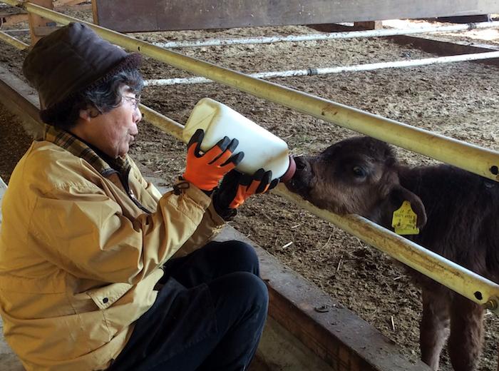 牛にミルクを与えて世話する様子