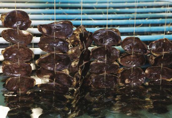 胞子のついたカキの貝殻