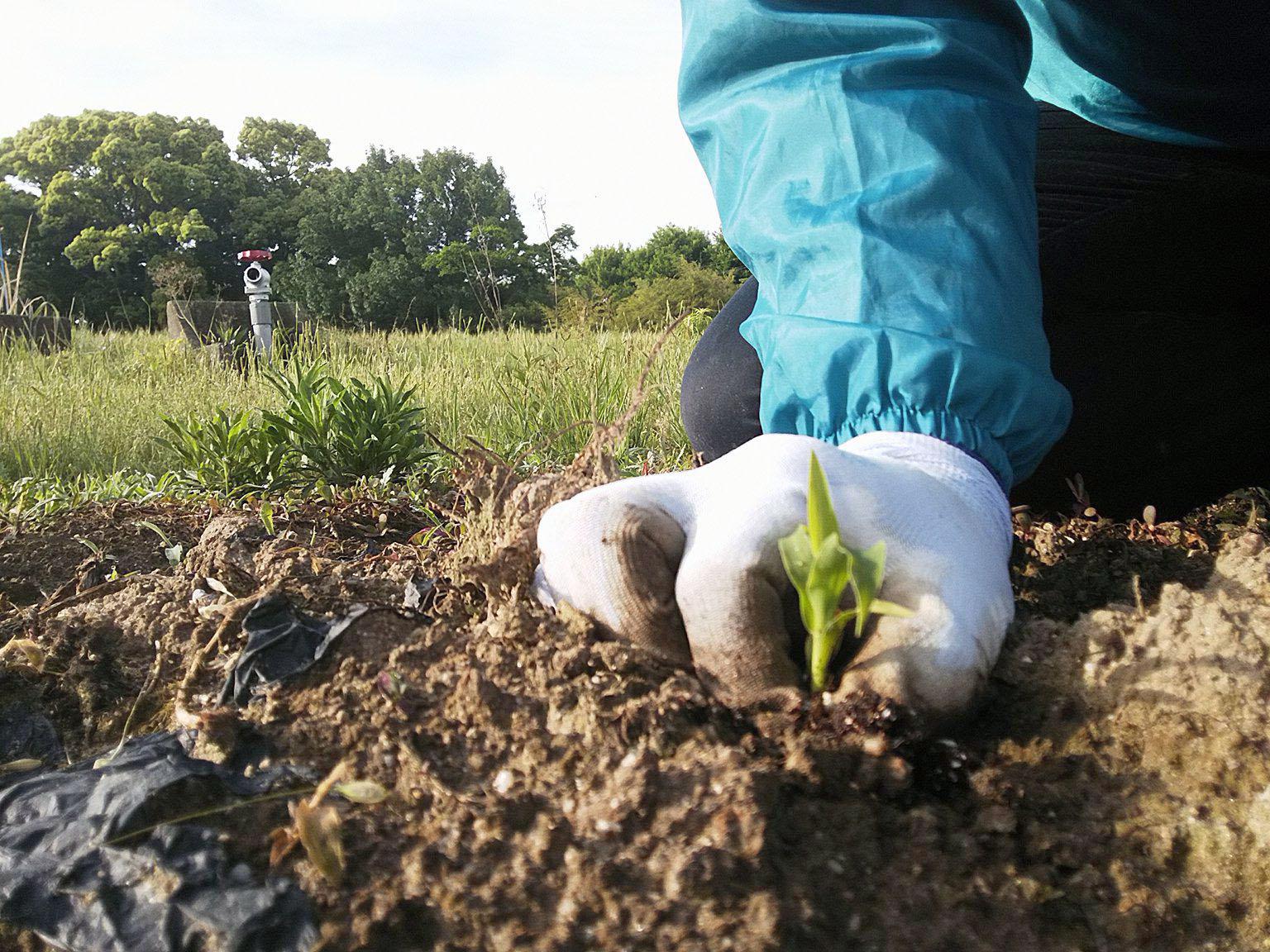 有機物たっぷりの土に苗植え
